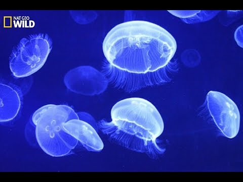 National Geographic - Jellyfish: How To Capture The Prey And Defense  - Wildlife Animals