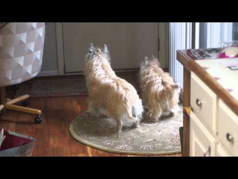 Cairn Terriers' Mom's home!