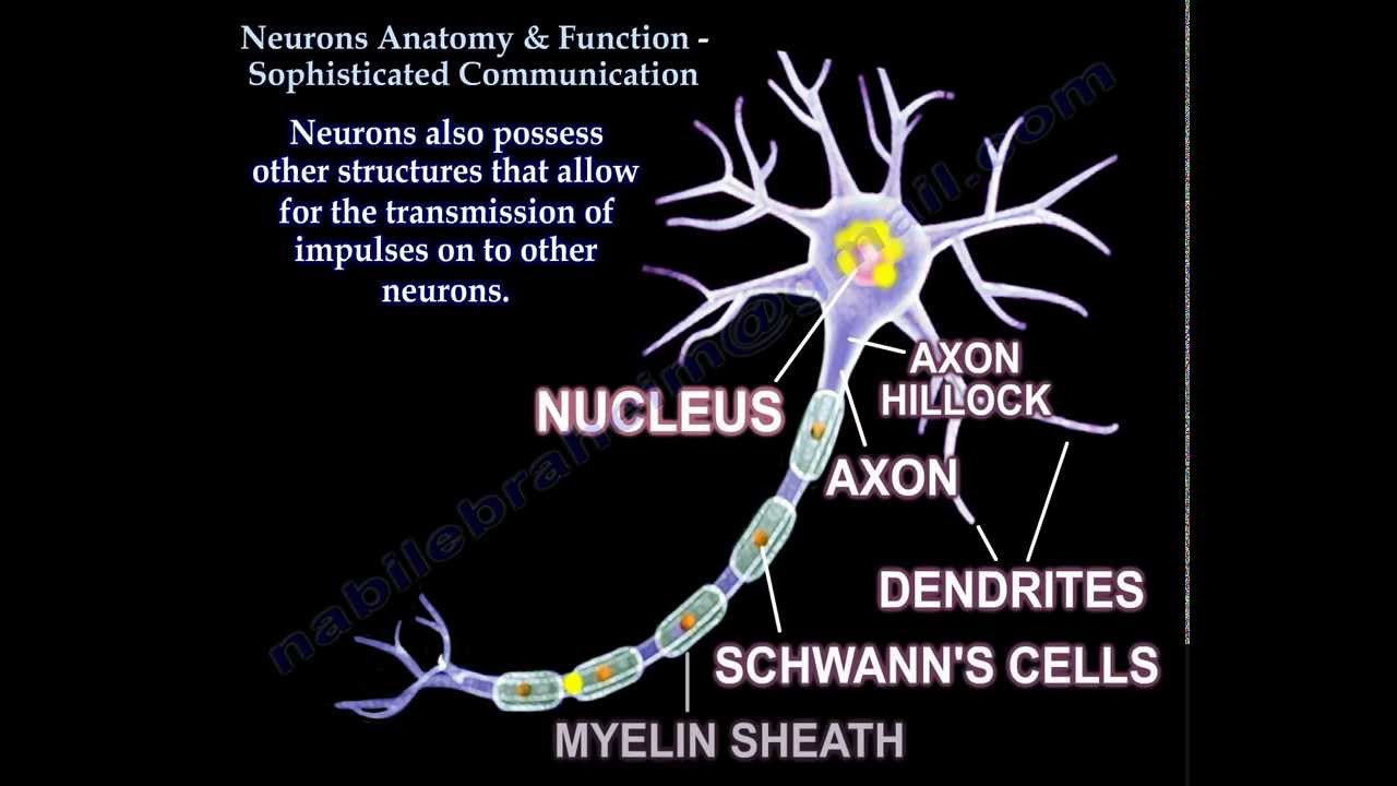 Neuron Anatomy , Function and Communication - Everything You Need To ...