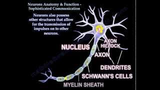 Neuron Anatomy , Function and Communication - Everything You Need To Know - Dr. Nabil Ebraheim