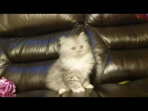 Silver tuxedo RagaMuffin kitten