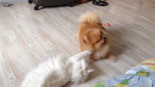 ✅Померанский шпиц и кошка играют в комнате