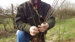 Raising your own apple tree root stocks