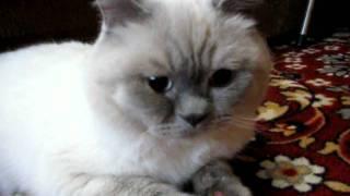 Шотландский котик нужно развязать 0995252331