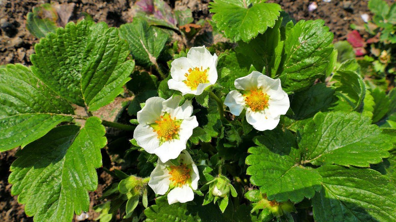 Попшикайте цветущую клубнику этим безопасным средством от всех всех вредителей и  болезней!