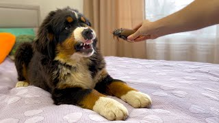 Funny Bernese Mountain Dog Puppy Reacts to Cockroach