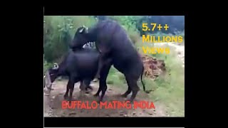 buffalo mating.3gp