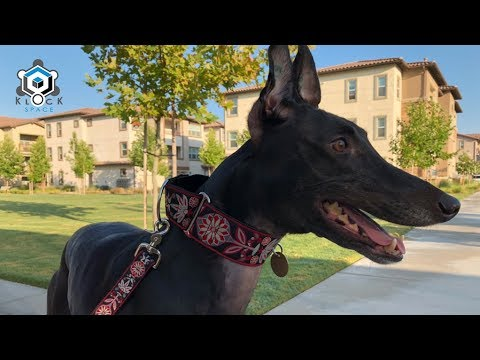 Chanele: Our Retired Greyhound - a year later