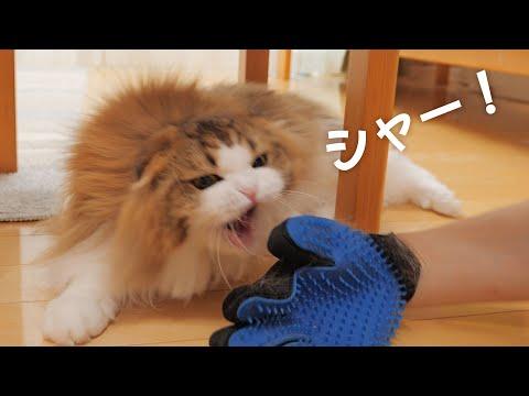 大好きなブラッシング中に突然激怒して吠える猫【パパしょんぼり】