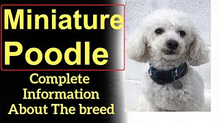 Miniature Poodle. Pros and Cons, Price, How to choose, Facts, Care, History