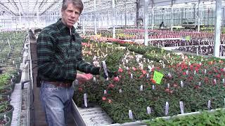 Begonia Shine Brights & Rise Ups