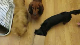 ミニチュアダックス、さすが狩猟犬!穴に潜るの大好き!