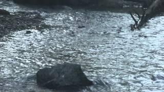 Сахалин,  нерест и вылов горбуши - сентябрь 2012.vob(Восточное побережье острова Сахалин. Горбуша идет на нерест. Путина. Горбу́ша (Oncorhynchus gorbuscha) — вид миграцио..., 2012-10-05T13:46:25.000Z)