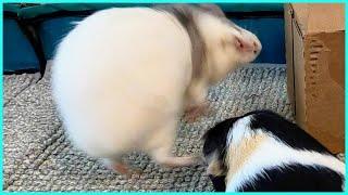 Best guinea pig noises of the wheek! (2021 Week 31)