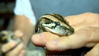 Dormindo com o inimigo: homem faz criação de cobras dentro de casa