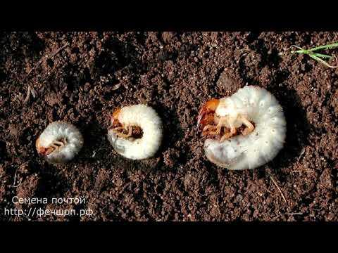 Белые личинки в компосте   это не майский жук!