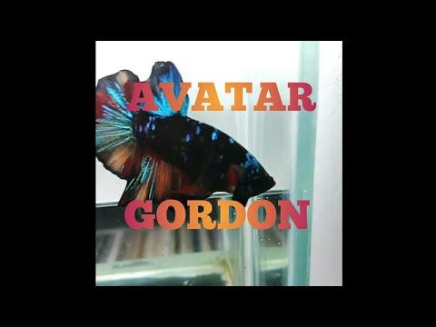 Ikan hias cupang - avatar GORDON dll- mantepp - YouTube