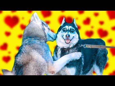 ЧЕРЕЗ НЕДЕЛЮ Я СНОВА СТАНУ ПАПОЙ! (Хаски Бандит) Говорящая собака