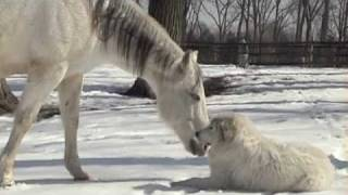 Horse and Great Pyrenees