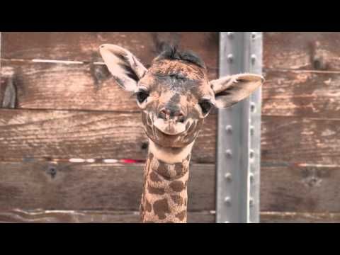 Thumbnail: Baby Giraffe at the Zoo!