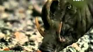 Instinto Animal - La Babirusa