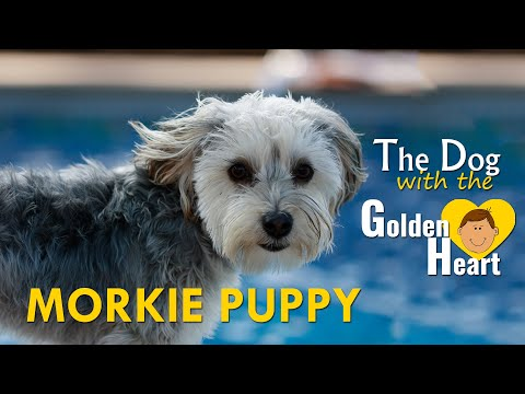 Morkie Puppy - Complete Facts On The Cute Bundle Of Love