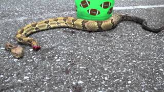 Headless Rattlesnake attacks! Wait for it!
