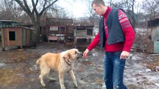 Собака чемпион СНГ по собачим боям