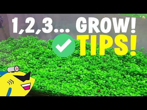 AQUARIUM CARPET PLANT TIPS: 1, 2, 3... GROW!