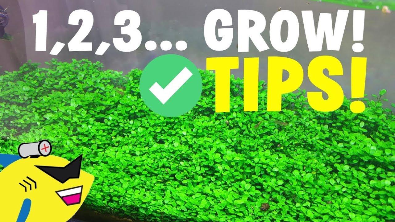 AQUARIUM CARPET PLANT TIPS: 1, 2, 3    GROW!