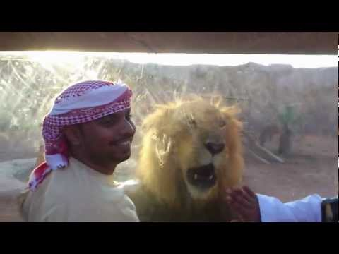 Angry Lion At Al Ain Zoo