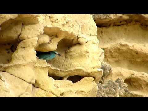 european-roller-(coracias-garrulus)-Κράγκα---Χαλκοκουρούνα---cyprus