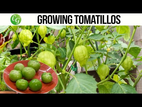 How to grow and harvest Tomatillo  + Chutney Recipe