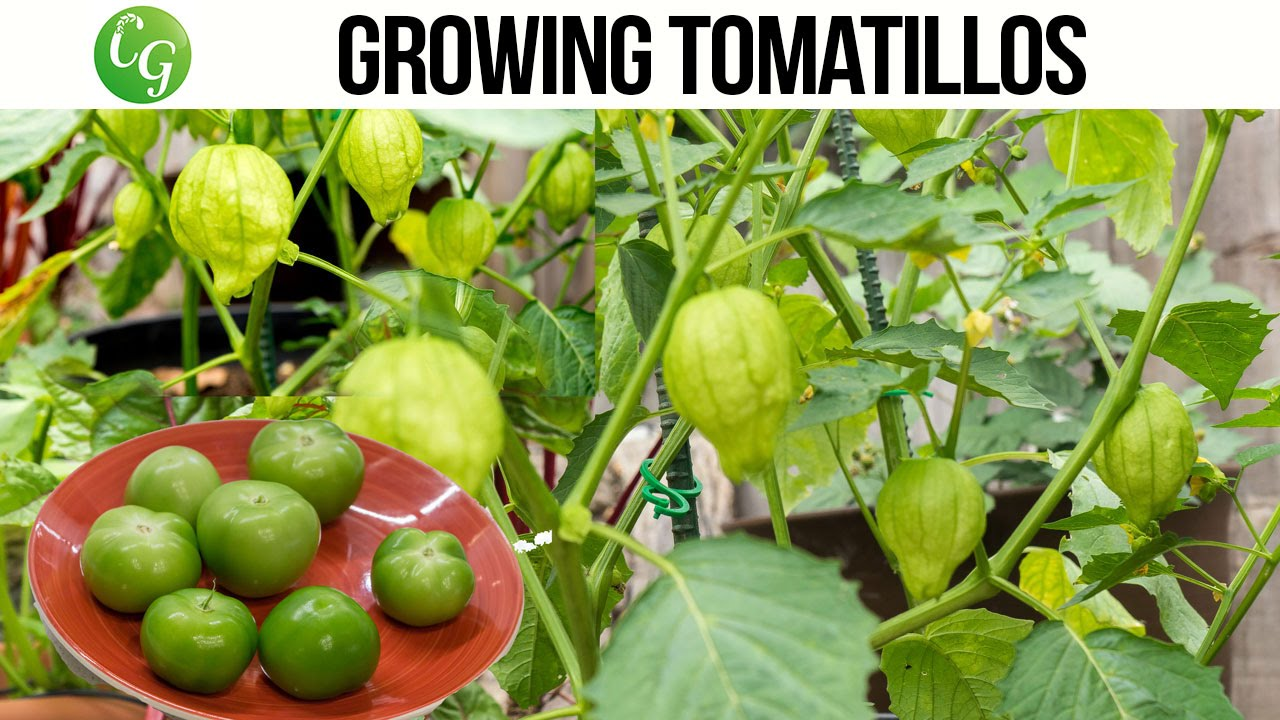 How to Grow Tomatillos advise