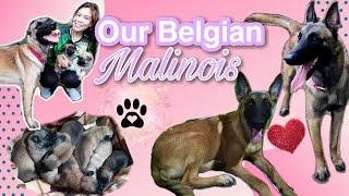 Belgian Malinois Breeding | Eagle Corps Kennel | K9 | Dog Stud | Doremifa TV