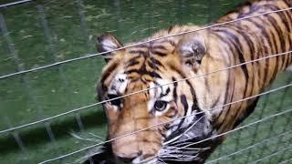 tigers sayinggood night everyone