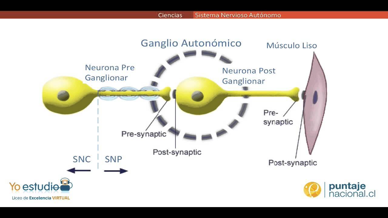 Sistema Nervioso Autónomo - YouTube