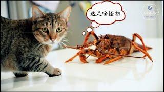 澳洲龙虾一公斤80,生姜却要35一公斤,果断地做个姜葱龙虾伊面吧