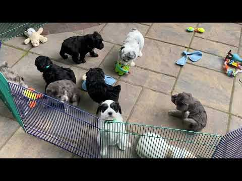 Diva's schnoodle puppies playing on patio July 20, 2020