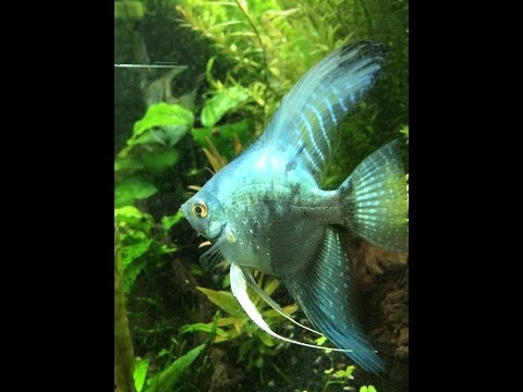 Philippine Blue Angelfish Looking Amazing!!