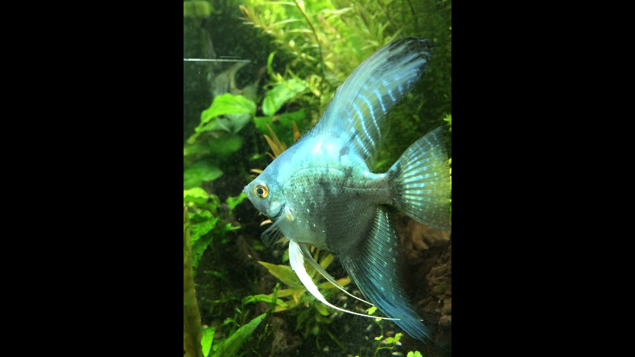 Philippine blue angelfish looking amazing youtube for Yellow koi fish for sale