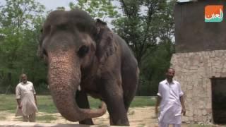 بالفيديو.. اكتئاب فيل باكستاني يثير حملة دولية
