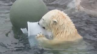 Белые медведи видео в Московском зоопарке