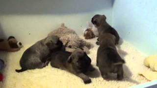 """Cairn Terrier Welpen """" Vom Farbenspiel """" 3. Woche 2. Teil ( Ohne Musik )"""