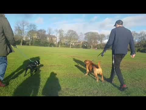 Dogue de Bordeaux vs Labrador