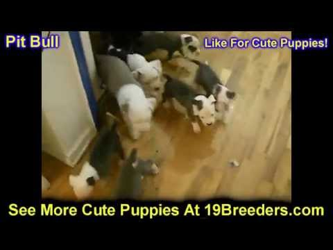 Pitbull, Puppies, Dogs, For Sale, In Miami, Florida, FL, 19Breeders, Tallahassee, Gainesville
