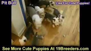 Pitbull, Puppies, Dogs, For Sale, In Miami, Florida, FL, 19Breeders, Tallahassee, Gainesville(Not, on, PuppyFind, Craigslist, Oodle, Kijiji, Hoobly, eBay, Marketplace, Next Day Pets, Backpage, Classifieds, Facebook, DogsNow, Online, BreedersClub, ..., 2014-04-29T07:05:46.000Z)