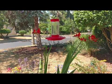 Anna's Hummingbird at flowers and feeder in Portland Oregon. August 18, 2017.