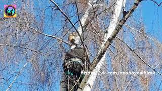 Будьте осторожны спасая кошек с деревьев Кошка самоубийца Самопожертвование или Страх animal Rescue