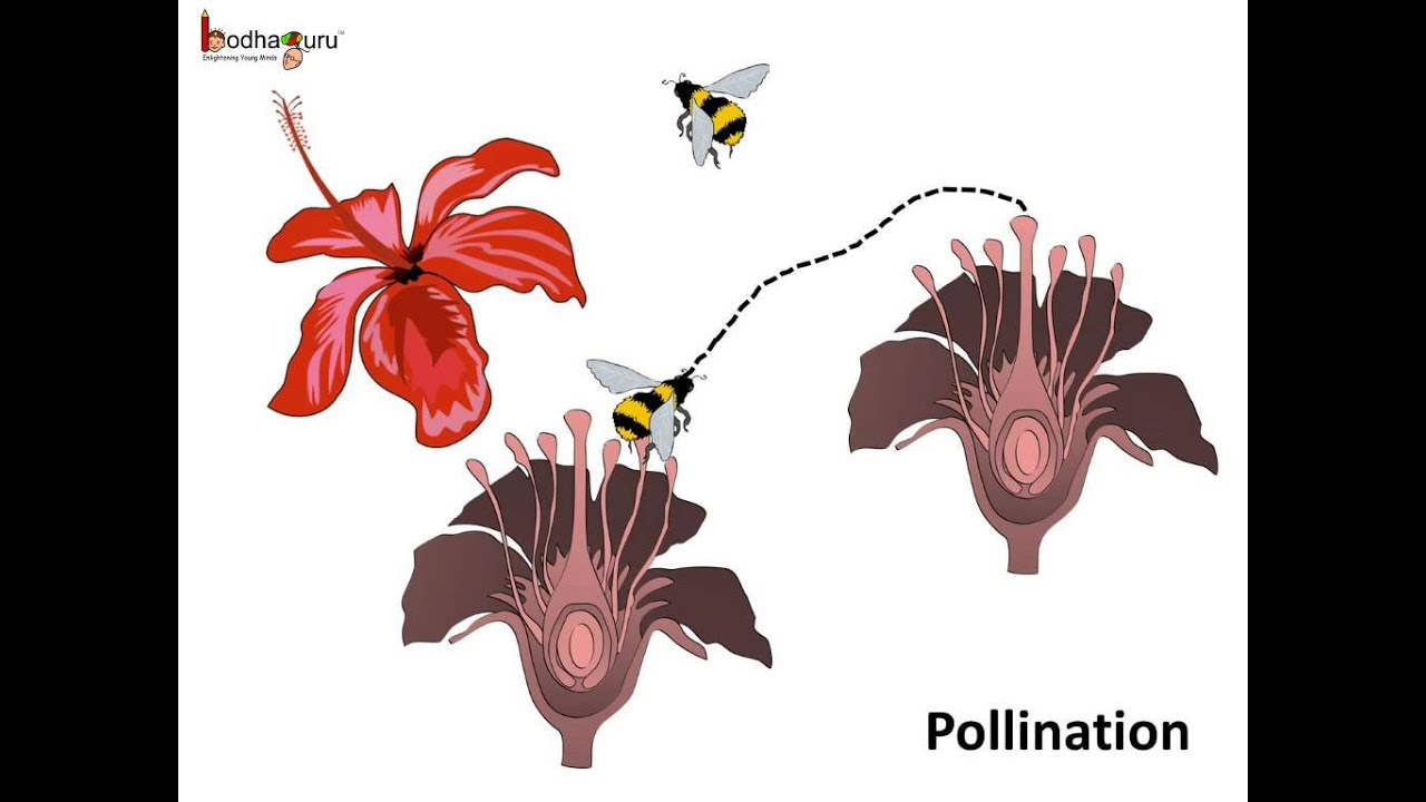 Science What is pollination and what happens after it English